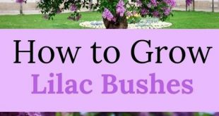 How To Grow a Lilac Bush for Beautiful Blooms in the Spring