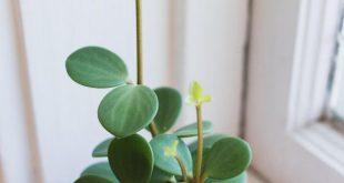 Peperomia Hoffnung! Ich bin ein Trottel für jede Pflanze mit gleichmäßigen Blättern. Außerdem...