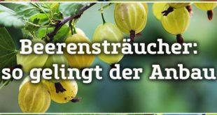 Beerensträucher selbst anbauen und im Sommer richtig pflegen