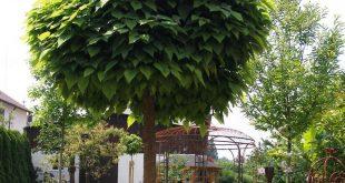 Kugeltrompetenbaum